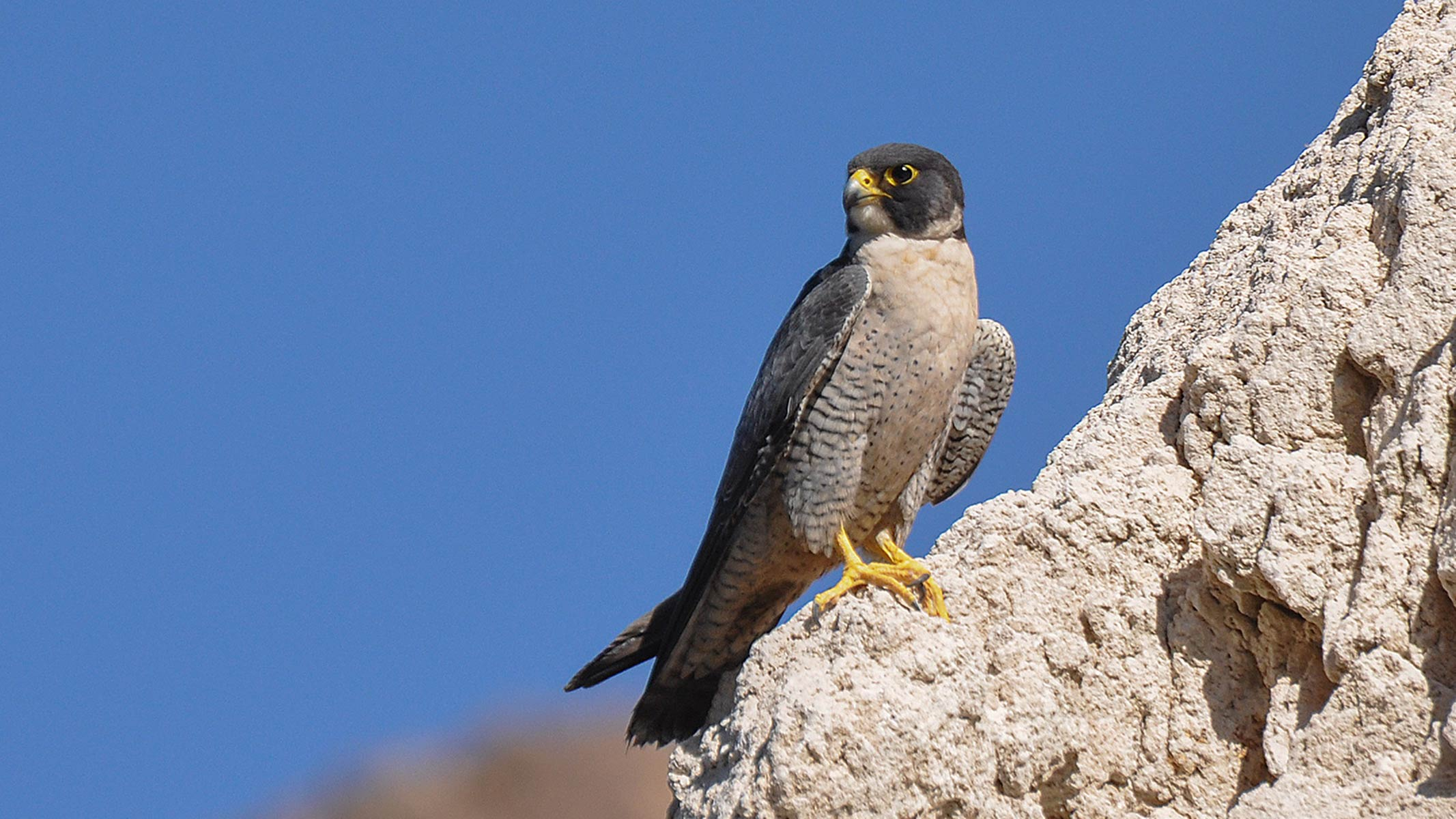 Peregrine falcon perched on rocks, blue sky behind