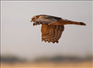 Northern harrier, Sleeping Bear Dunes National Lakeshore, 2015.. Northern Harriers (Circus cyaneus) use their exceptional hearing to find prey. Their amazing hearing ability is why they appear owl-like with an owl-like facial disc.
