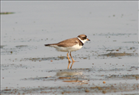 Semipalmated plover (Charadrius semipalmatus), Cape Hatteras National Seashore, 2015.. The name 'semipalmated' refers to this animal's partly-webbed feet. Some semipalmated plovers travel all the way from the Cape, the Caribbean or even South America to their summer spots in Canada and Alaska. This bird resembles the killdeer but is much smaller and has only one band. Like other plovers, this bird nests on the ground and exhibits the 'broken-wing' display to protect its nest from intruders.