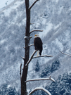 An eagle perches on the branches of a dead tree. Snow coats the branches, and the mountains behind.