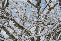 Snow-covered tree, Cape Cod National Seashore, 2015..