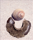 Moon snail (Clypeasteroida) and sand collar, Assateague Island National Seashore, 2015.. This strange half-moon shaped object is just the egg mass of the moon snail. The female lays thousands of eggs at one time and creates the sand collar as a form of protection for them. Basically, she constucts this collar by burying herself in the sand and, with the sand still covering her, she uses mucous to bind each grain of sand to another grain of sand! This forms a flexible layer surrounding her shell. Then she distributes her eggs evenly between the first layer of sand and her shell. Finally, another layer of sand is bound together in the same manner as the first and laid over the eggs of the first layer. This unique process sandwiches the eggs inside a protective case. These collars are buried just below the sand's surface but unfortunately they are often dislodged and washed up on the beaches. IMPORTANT: if you find one that has eggs exposed but is still wet, throw it back into the water so they have a chance to survive!
