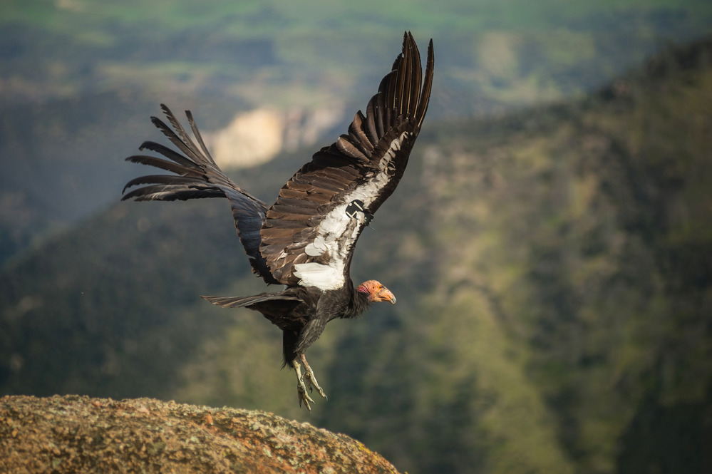 click to see asset described as A condor taking flight