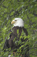 A bald eagle perched in a leafy green tree.