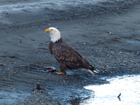 A bald eagle stands on a rocky beach, with the remains of a salmon at its feet.
