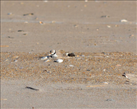 Piping plover (Charadrius melodus) on a scrape, Assateague Island National Seashore, 2015.. Piping plovers are among the first migratory shorebirds to return to Assateague after a long winter. The males arrive early in March, usually a few weeks ahead of females. If he had a successful nest the previous year he will claim his old territory. The female will also return to their old nesting area - though she won't always mate with the same male! While preparing for breeding season, the male creates a scrape (i.e., the nest) by literally scraping out a little nest in the sand. To create a suitable depression he hunches down and repositions himself repeatedly while kicking out the sand. He even uses his chest to smooth out the ground while he moves from side to side. In an effort to attract the attention of any nearby females, he also calls continuously during the scrape-building activities. If there is no female interest in his scrape, he may sit in the scrape for a short period before flying off to try again in a new location!