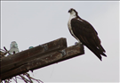 Osprey (Pandion haliaetus), Grant-Kohrs Ranch National Historic Site, 2016.. This diurnal (i.e., active during the day) fish-eating bird of prey can tolerate a wide variety of habitats but is most commonly found near lakes and rivers. As its common names, like river hawk and fish eagle, suggest, the osprey feeds almost exclusively on fish. Because it is so highly-specifalized physically and has such unique hunting behavior, the osprey has its own genus and family, Pandion and Pandionidae.
