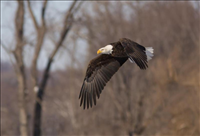 Bald eagle (Haliaeetus leucocephalus) in flight, Mississippi National River & Recreation Area, 2015.. Bald eagles are a common sight over the river and within the recreation area.