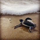 Green sea turtle (Chelonia mydas) hatchling, Cape Lookout National Seashore, 2015.. In 2015, we had a total of 247 sea turtle nests across the entire National Seashore, breaking the previous record of 242. The vast majority of these nests belong to loggerhead sea turtles (Caretta caretta) but we also had 14 green sea turtle nests. Green sea turtle hatchlings are larger than loggerhead hatchlings, with a black body and white trim. When this green sea turtle hatchling grows up, it could reach an amazing 700 pounds!