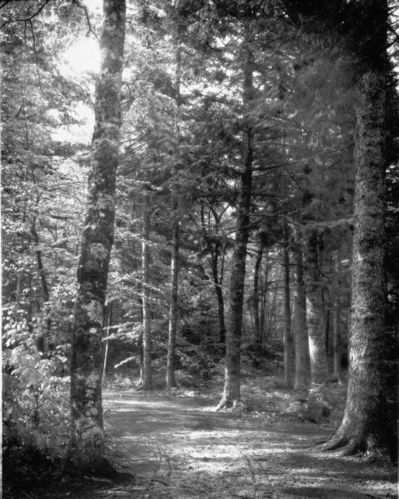 Dorr Woods - Old Bicycle Path - Lichen Covered Birch on left June 3, 1905