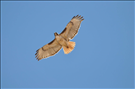 Red-tailed hawk (Buteo jamaicensis) in flight, Lake Mead National Recreation Area, 2015..