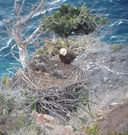 Bald eagle chicks with adult