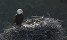 Bald eagle adult with chick