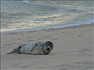 Grey seal (Halichoerus grypus), Fire Island National Seashore, 2015.. The grey seal goes by many names, including Atlantic seal, gray seal and horsehead seal. Today, it isn't unusual to see a healthy seal like this pup resting on the beach for hours at a time. In the past, however, grey seals were hunted nearly to extinction. According to a survey of the entire Maine coast conducted in 1972, only 30 grey seals remained. It was in that year that Congress passed the Marine Mammal Protection Act, preventing the harming or harrassing of all marine mammals, including seals. Since the passing of this act, sightings of grey seals have increased. These animals are still federally-protected and should be left alone. However, if you see an injured animal, call the Riverhead Foundation for Marine Research and Preservation hotline 631-369-9829.
