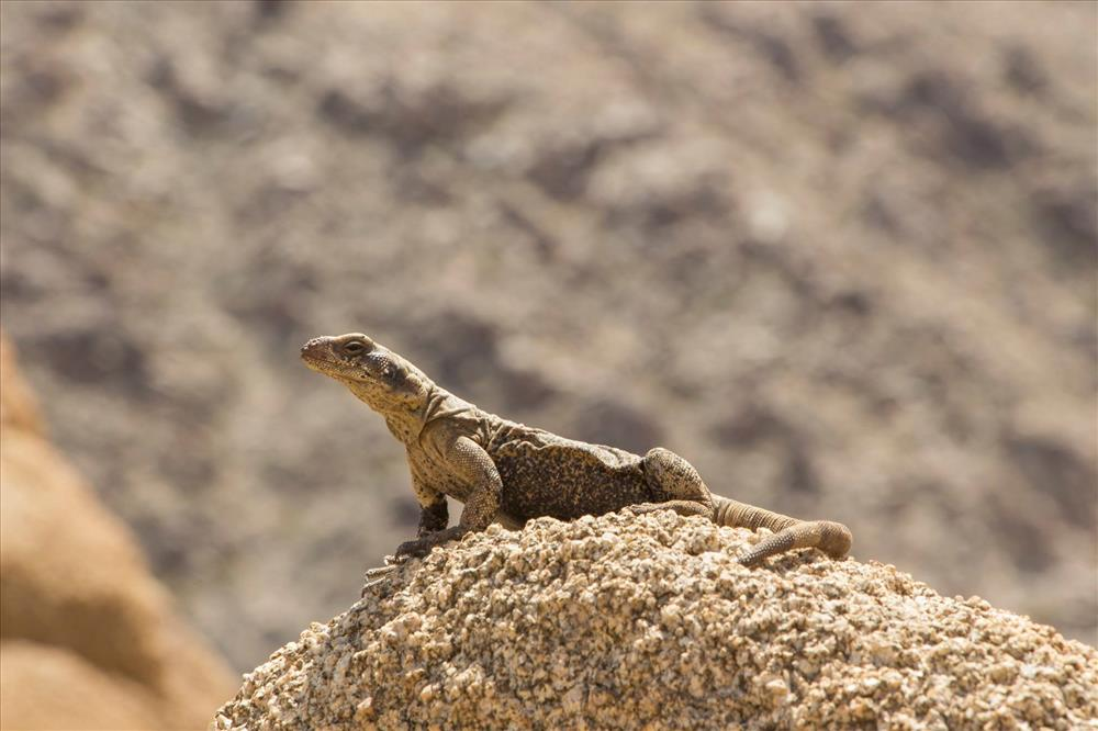 click to see asset described as Chuckwalla (Saromalus obesus) basking in the sun, Joshua Tree National Park, 2015..