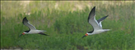Black skimmers (Rynchops niger), Cape Hatteras National Seashore, 2015.. This tern-like seabird is the largest of the skimmers. The black skimmer breeds on sandbanks or sandy beaches in the Americas. Like other birds that nest on beaches, the chicks have amazing camouflage and will leave the nest almost as soon as they hatch. Interestingly, the mandibles of hatchlings are the same length but rapidly become unequal during the fledging stage.