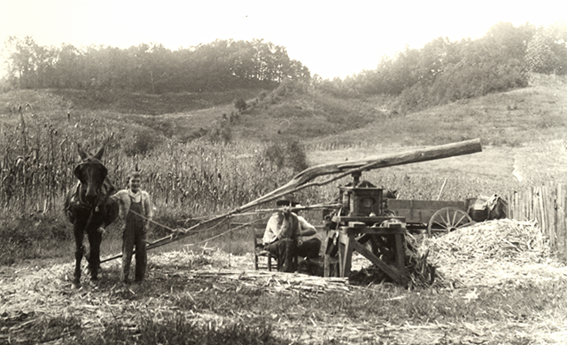 A farmer and his son grinding sorghum cane using a mule and cane mill
