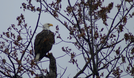 Bald eagle perched in a tree.