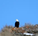 A Bald Eagle atop a crest in the Promontory area.