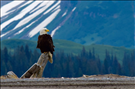Bald eagle, Lake Clark National Park & Preserve, 2015.. The bald eagle (Haliaeetus leucocephalus) is the largest eagle native to North America and a bird of prey also known as a 'sea eagle'. Sea eagles are all birds of prey in the genus Haliaeetus. Their diets consist mainly of fish and small mammals. This bird is easily recognized throughout North America because of its large range which includes most of Canada and Alaska as well as the contiguous United States and northern Mexico.