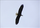 Bald eagle (Haliaeetus leucocephalus) in flight, Niobrara National Scenic River, 2010..