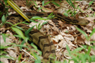 Timber rattlesnake (Crotalus horridus), Catoctin Mountain Park, 2015.. Interestingly, this is the only snake in Maryland with a rattle. The timber rattlesnake is the second most northerly-distributed venomous snake in North America (the first is its cousin in the west, the prairie rattlesnake). This snake has long fangs, an impressive build and high venom yield; however, it also has a mild disposition and long brumation (i.e., dormancy in reptiles) time. This species is shy and prefers to avoid areas frequented by humans. However, it will readily bite if provoked. So, keep your distance.