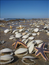 Bivalves and starfish on the shore, Cape Lookout National Seashore, 2015..