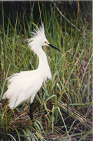 Snowy egret (Egretta thula), Cumberland Island National Seashore, 2015.. This little white heron had a population crisis when its beautiful plumes were in demand by market hunters as decorations for women's hats. Now protected by the Migratory Bird Treaty Act the population has recovered. Snowy egrets nest in colonies in isolated places like barrier islands and marshes, often changing location from the previous year. Distinguish this white heron from other egrets or herons by its distinctive yellow feet with black legs as well as the yellow area in front of the eyes and on the upper part of its black bill that turns red during breeding season.