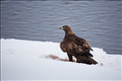 Golden eagle (Aquila chrysaetos), Yellowstone National Park, 2015.. Easily confused with juvenile bald eagles (Haliaeetus leucocephalus), there are a few ways to distinguish these two birds. Large northern Haliaeetus usually have larger bills and heads which protrude more than that of a golden eagle when in flight. A golden eagle's tail is longer on average, appearing to be 2- or 3- times the length of the head in soaring flight -- as opposed to other eagles whose heads are normally 2x the tail length in flight. The most common confusion is most-likely because of the similar brown plumage of juvenile haliaeetus eagles and golden eagles. Haliaeetus eagles are often very heavily streaked in the juvenile phase, while the golden eagle is more solidly brown. The juvenile golden also may show large patches of white on the wings and tail that are quite different than the random streaks and splotches of the juvenile haliaeetus eagles.